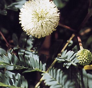 Acacia leucocephala