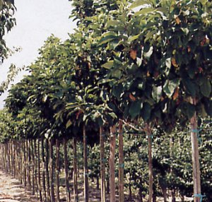 Magnolia liliflora