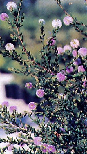 Melaleuca acuminata