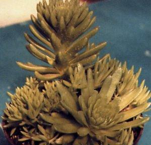 Orostachys erubescens