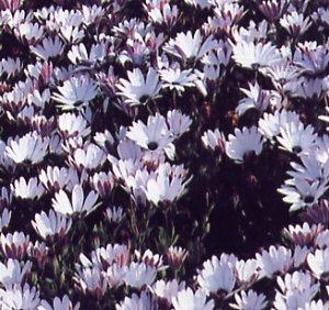 Osteospermum pluvialis