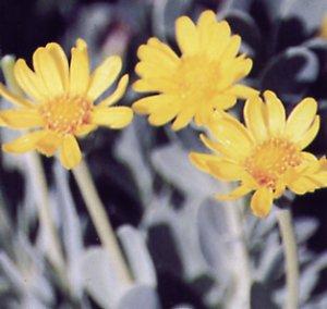 Othonnopsis cheirifolia