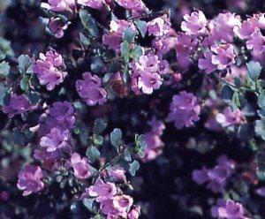 Prostanthera rotundifolia