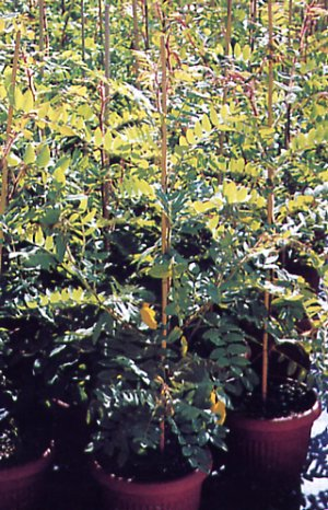 Robinia hispida