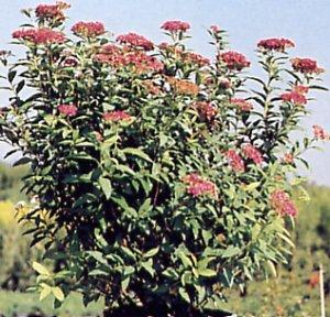 Spiraea japonica