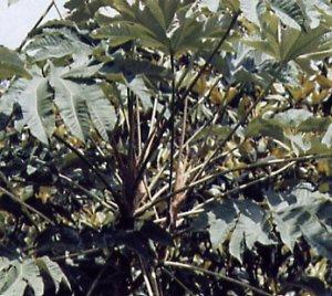 Tetrapanax papyriferus