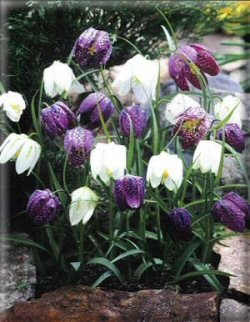 Chequered lily