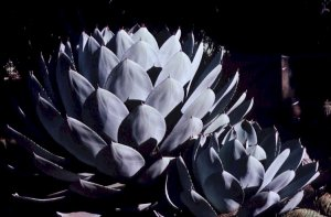 Parry s agave